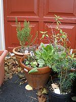 Bringing Herbs Indoors « Herb Garden Gal
