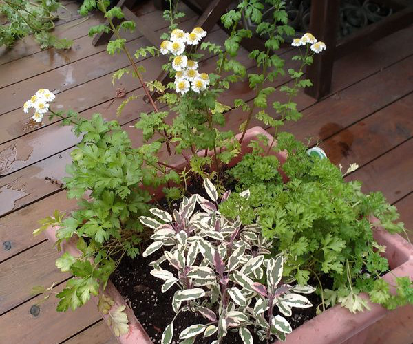 Feverfew Sage Parsley Container